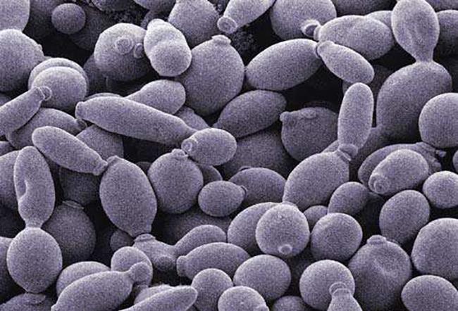 酿酒酵母在厌氧条件下生长繁殖